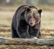 Закройте вверх по портрету бурого медведя с кров-запятнанным намордником Стоковые Фотографии RF