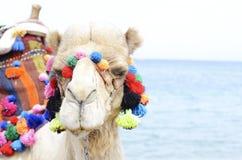 Закройте вверх по портрету верблюда около взморья Езда Camelus Стоковое Фото