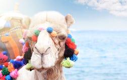 Закройте вверх по портрету верблюда около взморья Езда Camelus Стоковое фото RF