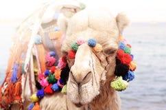 Закройте вверх по портрету верблюда около взморья Езда Camelus Стоковое Изображение RF