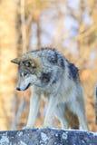 Закройте вверх по портрету волка тимберса Стоковое Фото