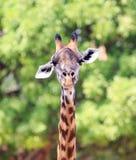 Закройте вверх по портрету головы и шеи жирафа смотря сразу в камеру с естественной предпосылкой дерева, южное Lunagwa, Замбию Стоковая Фотография