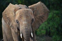 Закройте вверх по портрету женщины африканского слона Стоковая Фотография RF