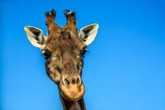 Закройте вверх по портрету жирафа над голубым небом Стоковая Фотография