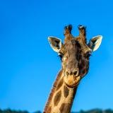Закройте вверх по портрету жирафа над голубым небом Стоковое Изображение