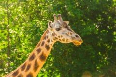 Закройте вверх по портрету жирафа Стоковые Фотографии RF