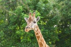 Закройте вверх по портрету жирафа Стоковая Фотография RF