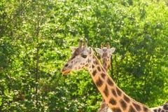 Закройте вверх по портрету жирафа Стоковое фото RF