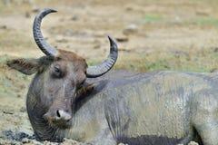 Закройте вверх по портрету индийского буйвола Стоковые Изображения RF