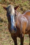 Закройте вверх по портрету коричневой лошади на луге Стоковое Фото