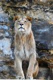 Закройте вверх по портрету мужского африканского льва Стоковая Фотография RF