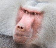 Закройте вверх по портрету мужского павиана hamadryas Стоковые Изображения