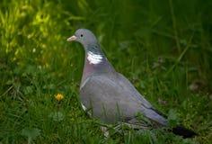 Закройте вверх по портрету общего palumbus колумбы голубя на траве Стоковые Изображения RF
