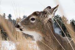 закройте вверх по портрету оленя замкнутого белизной в высокорослых травах Стоковая Фотография RF