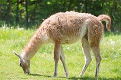 Закройте вверх по портрету пасти guanicoe лама ламы Guanako на зеленой траве Стоковые Изображения RF