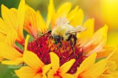 Закройте вверх по портрету пчелы на желтом цветке Стоковая Фотография RF