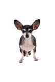 Закройте вверх по портрету собаки чихуахуа Стоковое Фото