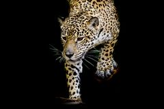 Закройте вверх по портрету ягуара Стоковые Фото