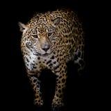 Закройте вверх по портрету ягуара Стоковое Изображение