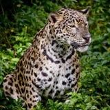 Закройте вверх по портрету ягуара Стоковая Фотография RF