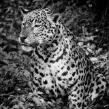 Закройте вверх по портрету ягуара Стоковые Фотографии RF