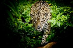 Закройте вверх по портрету ягуара Стоковая Фотография
