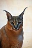 Закройте вверх по портрету caracal Стоковое фото RF