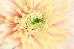 Закройте вверх по предпосылке желтого цветка хризантемы, макросу стоковое фото