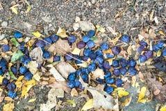 Закройте вверх по предпосылке упаденных зрелых голубых фиолетовых слив и сухого aut Стоковое фото RF