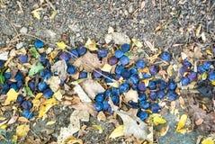 Закройте вверх по предпосылке упаденных зрелых голубых фиолетовых слив и сухого aut Стоковые Фото