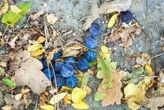 Закройте вверх по предпосылке упаденных зрелых голубых фиолетовых слив и сухого aut Стоковая Фотография