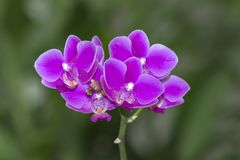 Закройте вверх по предпосылке цвета Blume фаленопсиса изолированной орхидеей стоковые изображения