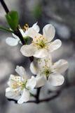 Закройте вверх по предпосылке цветков вишни Стоковые Изображения RF