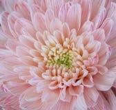 Закройте вверх по предпосылке цветков Стоковая Фотография