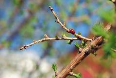Закройте вверх по предпосылке ladybug Стоковая Фотография