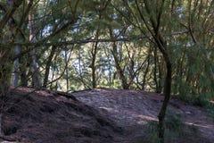 Закройте вверх по прибрежному сосновому лесу дюны Стоковое Фото