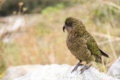 Закройте вверх по птице Kea стоя на утесе, стоковые изображения