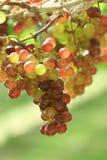 Закройте вверх по пуку свежих виноградин в винограднике Стоковое Изображение