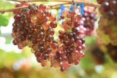 Закройте вверх по пуку свежих виноградин в винограднике Стоковые Изображения