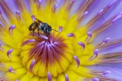 Закройте вверх по пчеле в фиолетовом цветке лотоса Стоковые Изображения