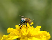 Закройте вверх по пчеле на желтом цветке (пчелы Лист-вырезывания) Стоковые Фотографии RF