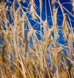 закройте вверх по пшенице Стоковое Фото