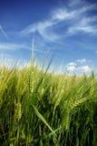 закройте вверх по пшенице Стоковые Фото
