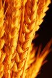закройте вверх по пшенице Стоковые Изображения