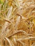 закройте вверх по пшенице Стоковое фото RF