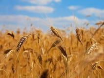 закройте вверх по пшенице стоковая фотография