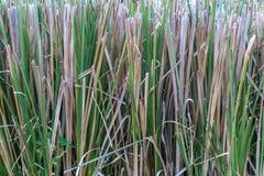 Закройте вверх по плантации травы лимона Стоковое фото RF