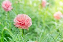 Закройте вверх по розовому цветку общего портулака в саде Стоковое Изображение RF