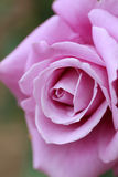 Закройте вверх по розовому цветку Стоковые Изображения