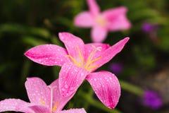 Закройте вверх по розовым цветкам Стоковое Фото